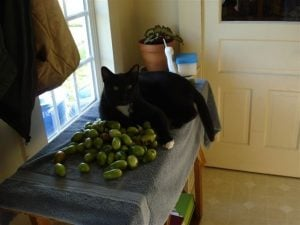 Friday Matley guards our green tomatoes